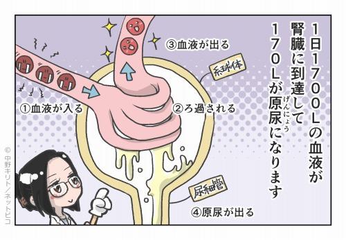 1日1700Lの血液が腎臓に到達して 170Lが原尿になります