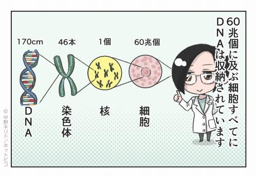 60兆個に及ぶ細胞すべてにDNAは収納されています