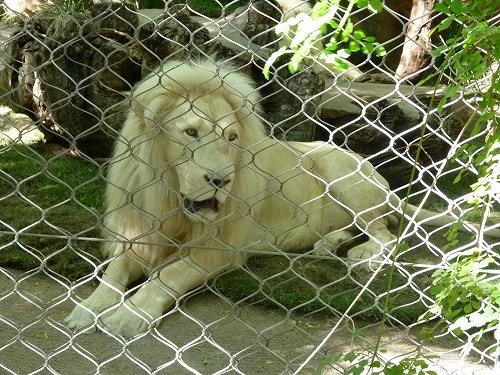 ホワイトライオン(ザ・ミラージュ)